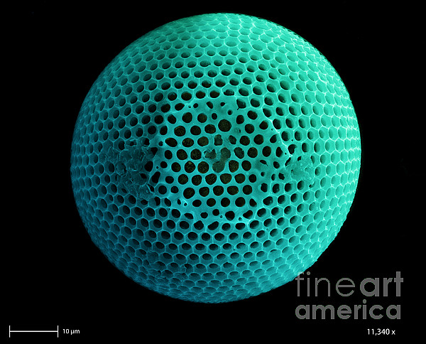 Nature Photograph - Fossil Diatom, Sem by Ted Kinsman