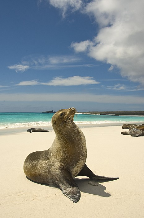Day Photograph - Galapagos Sea Lions Resting On A White by Annie Griffiths