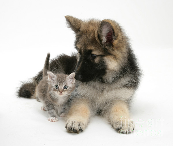 Nature Photograph - German Shepherd Dog Pup With A Tabby by Mark Taylor