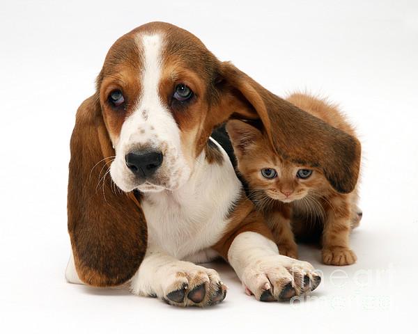 Animals Photograph - Ginger Kitten And Basset Puppy by Jane Burton