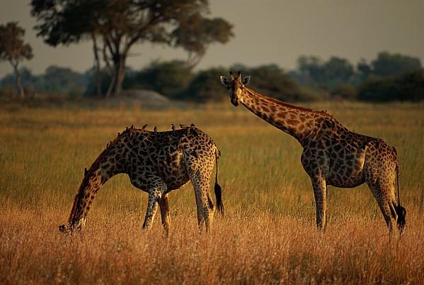Africa Photograph - Giraffes Graze On The African Plain by Beverly Joubert