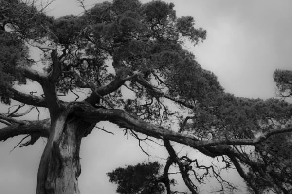 Appomattox Photograph - Gnarly Cedar Tree by Teresa Mucha