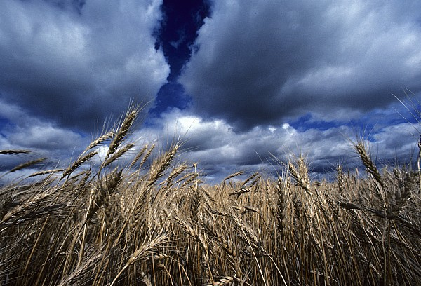 Outdoors Photograph - Golden Heads Of Wheat In A Field by Annie Griffiths
