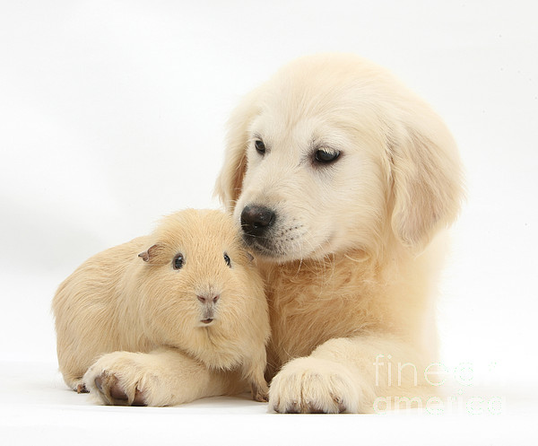 Nature Photograph - Golden Retriever Pup And Yellow Guinea by Mark Taylor
