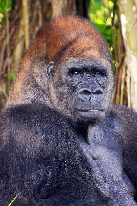 Ape Photograph - Gorilla Posing by Joe Myeress