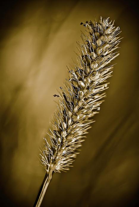 Seedhead Photograph - Grass Seedhead by  Onyonet  Photo Studios