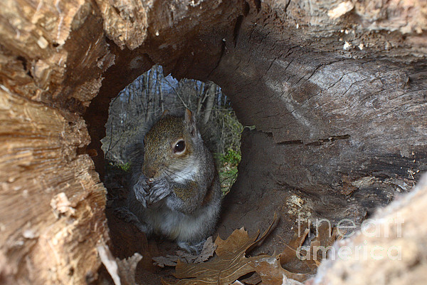 Eastern Gray Squirrel Photograph - Gray Squirrel by Ted Kinsman