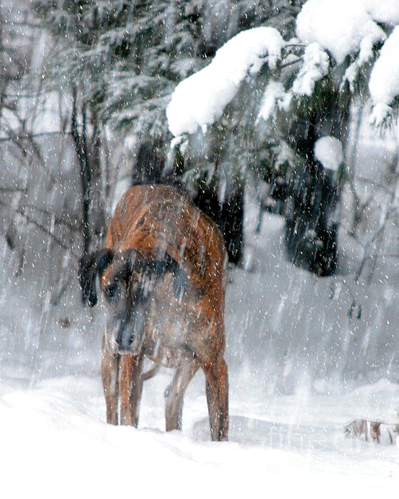 Snow Storm Photograph - Great Dane Rufus Looking Into A Blizzard by Lila Fisher-Wenzel