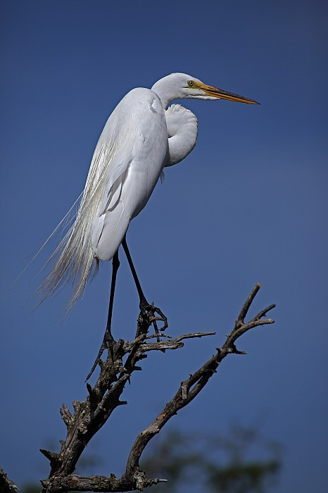 Day Photograph - Great Egret, Casmerodius Albus, Perched by John Cancalosi
