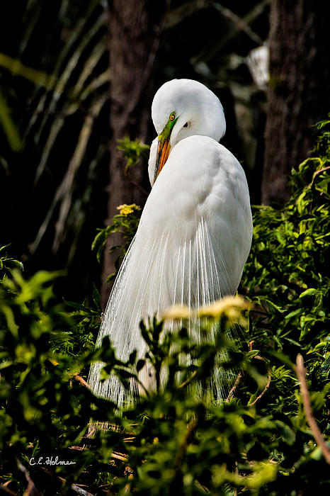 Avian Photograph - Great Egret by Christopher Holmes