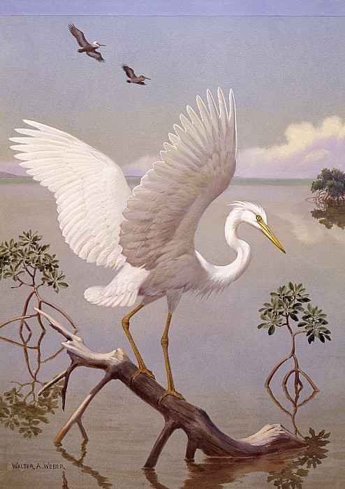 Illustration Photograph - Great White Heron, White Morph Of Great by Walter A. Weber