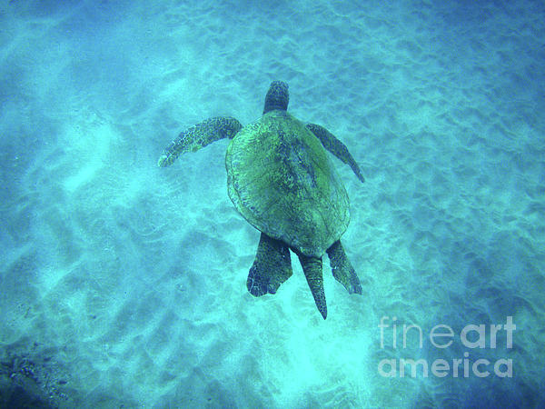 Green Photograph - Green Sea Turtle 2 by Bob Christopher