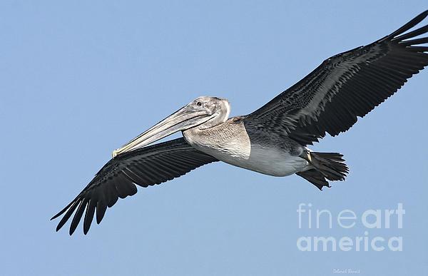 Pelican Photograph - Grey Pelican by Deborah Benoit