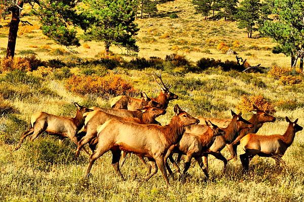 Elk Photograph - Harem  by Emily Stauring