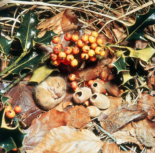 Mouse Photograph - Hibernating Dormouse by Jane Burton