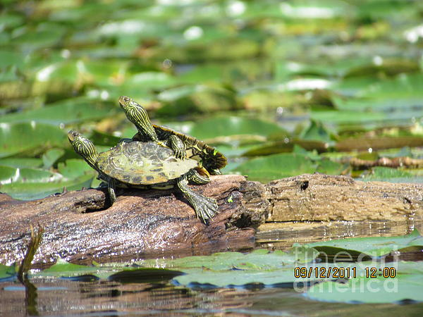 Turtle Photograph - Hitchin A Ride by Thomas Sterett