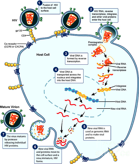 Microbiology Photograph - Hiv Virus Replication Cycle by Science Source