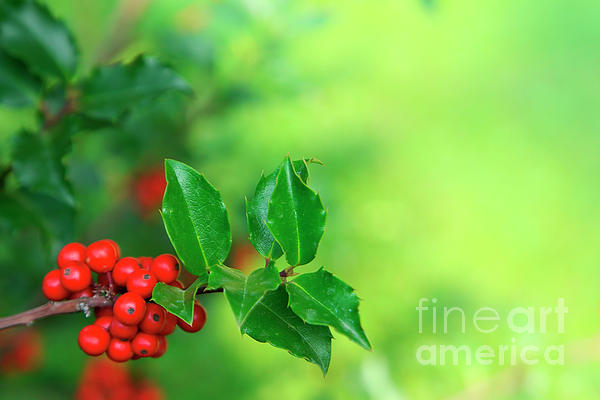 Autumn Photograph - Holly Branch by Carlos Caetano