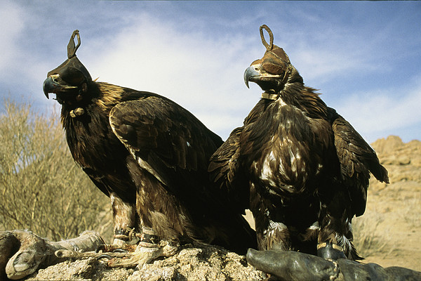 Commonwealth Of Independent States Photograph - Hooded Eagles Stand Ready For Hunting by Ed George