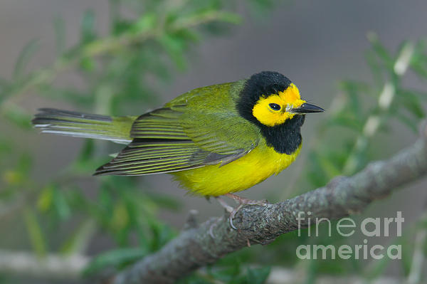 America Photograph - Hooded Warbler by Clarence Holmes