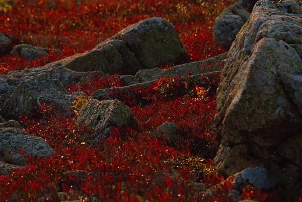 North America Photograph - Huckleberry Bushes And Multi-hued by Michael Melford