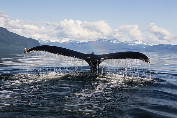 Alaska Photograph - Humback Whale Diving With Tail Flukes by James Forte