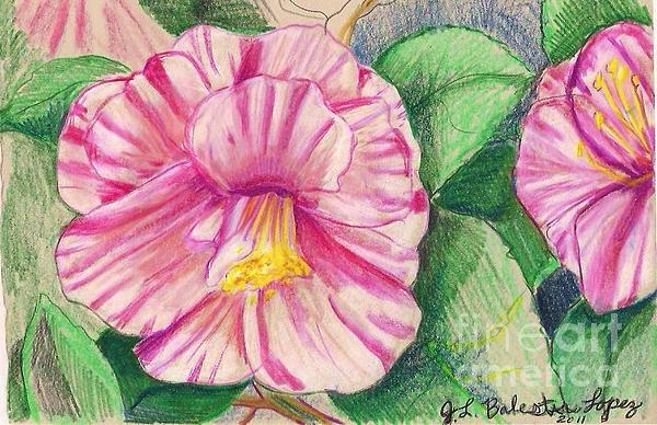 Hybiscus Pink And White Drawing by Jamey Balester