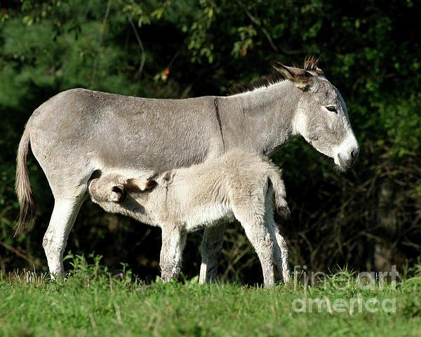 Donkey Photograph - Im Thirsty by Deborah Smith