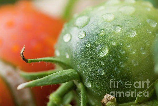 Drop Photograph - Immature Tomatoes by Sami Sarkis
