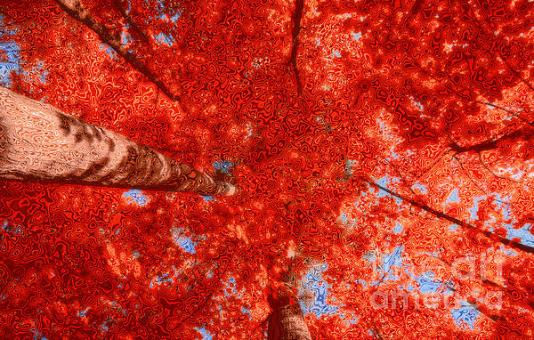 Maple Tree Photograph - Impression Of Red Maple by Charline Xia