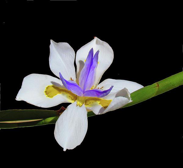 Morea Iris Photograph - Iris by Bonnie Muir