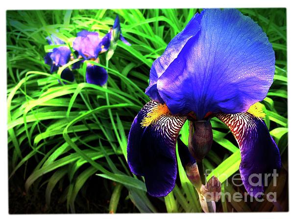 Iris Photograph - Iris by Kevyn Bashore