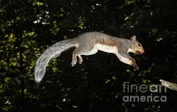 Sciurus Carolinensis Photograph - Jumping Gray Squirrel by Ted Kinsman