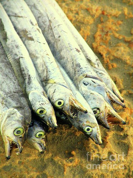 Fish Photograph - Kappa Tau Baita by Joe Jake Pratt
