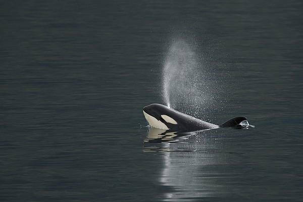Marine Mammal Photograph - Killer Whale Calf Blows As It Surfaces by Ralph Lee Hopkins