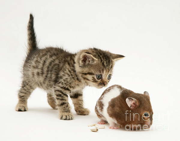 Brown Photograph - Kitten And Hamster by Jane Burton