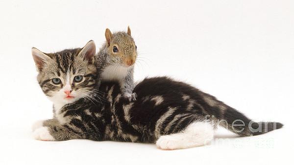 White Background Photograph - Kitten And Squirrel by Jane Burton