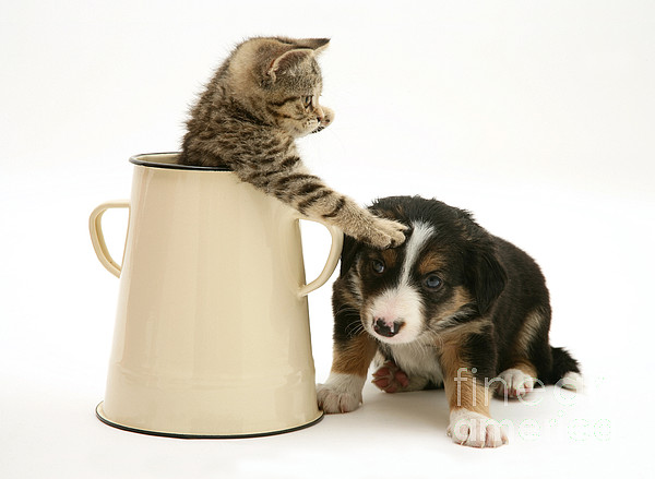 Border Photograph - Kitten In Pot With Pup by Jane Burton