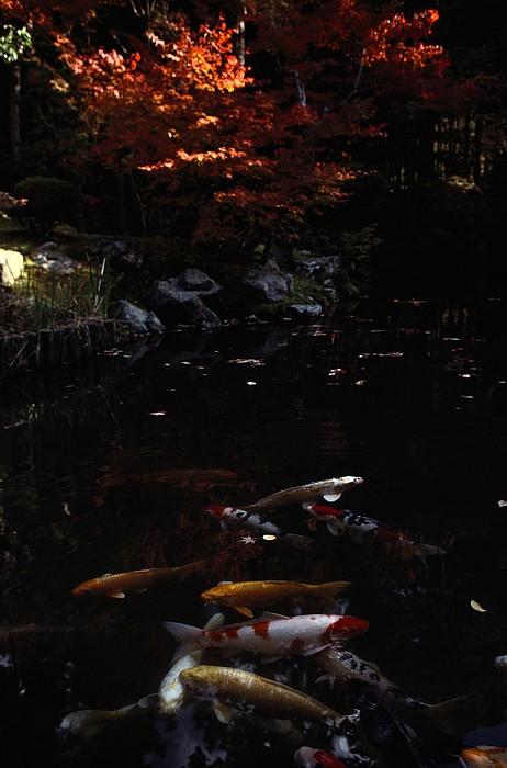 Nanzenji Temple Photograph - Koi Swim In A Pool Located by Sam Abell