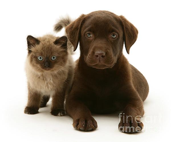 White Background Photograph - Labrador Pup And Birman-cross Kitten by Jane Burton