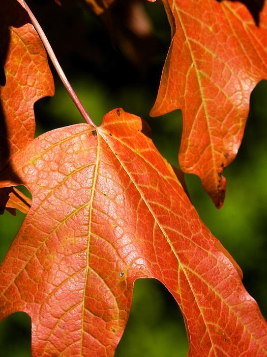 Leaves Of Orange Photograph - Leaves Of Orange by Beth Akerman