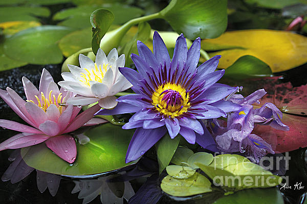 Waterlily Photograph - Lilies No. 16 by Anne Klar