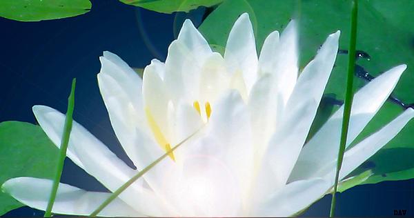 Water Flower Photograph - Lily Essence by Debra     Vatalaro