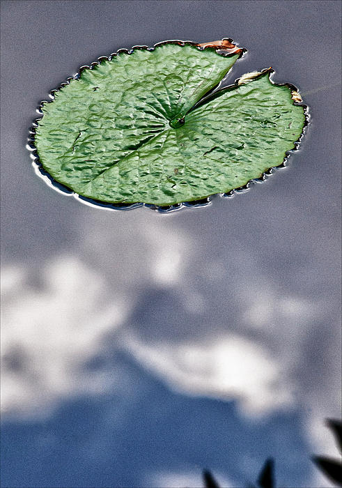Plants Photograph - Lily Pad by Robert Ullmann