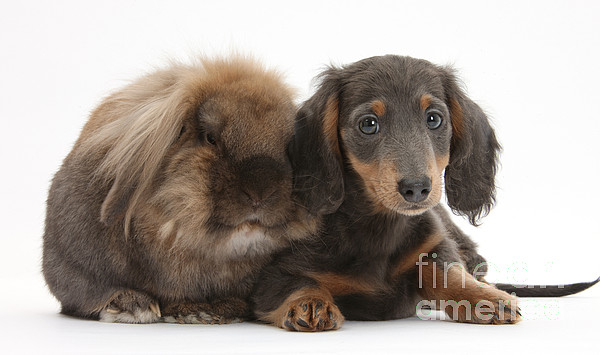 Nature Photograph - Lionhead-cross Rabbit And Dachshund Pup by Mark Taylor