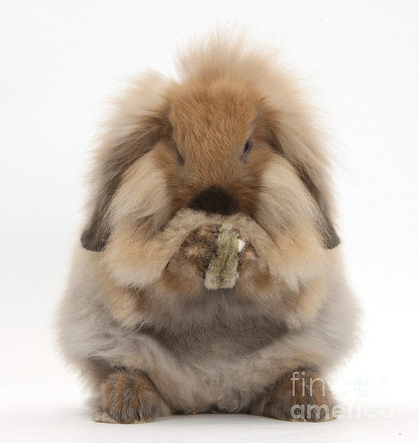 Nature Photograph - Lionhead X Lop Rabbit Grooming by Mark Taylor