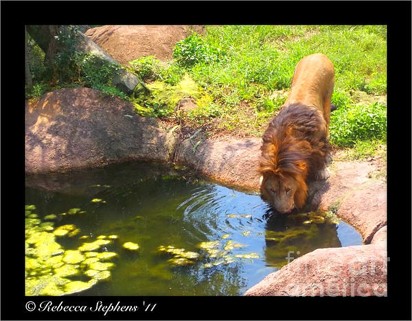 Zoo Photograph - Lions Terrain by Rebecca Stephens
