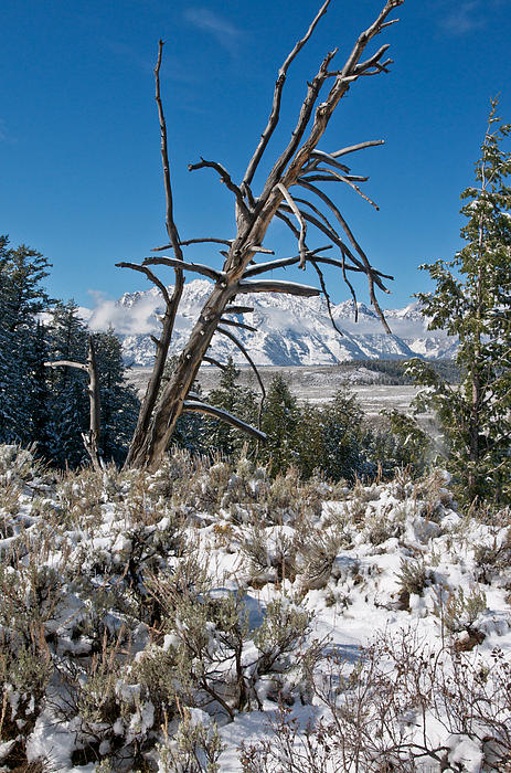 Grand Tetons Photograph - Lonesome Pine by Jay Seeley