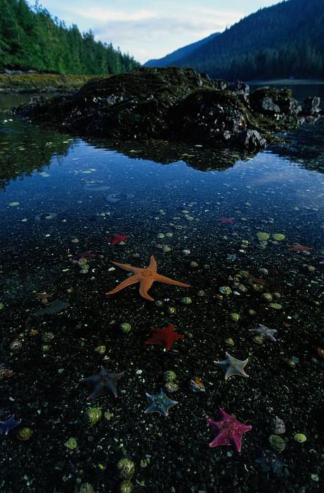 Burnaby Narrows Photograph - Low Tide Reveals A Galaxy Of Bat Stars by Raymond Gehman