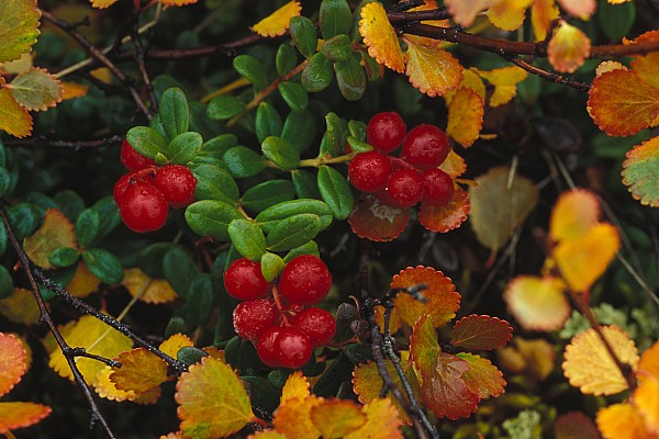Outdoor Photograph - Lowbush Cranberries Vaccinium Vitis by Nick Norman